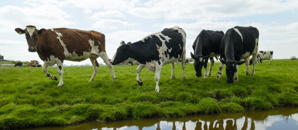 Happy cows in the meadow